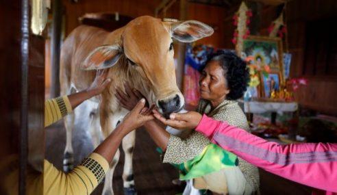 'Anak Lembu Ini Adalah Jelmaan Suami Saya'