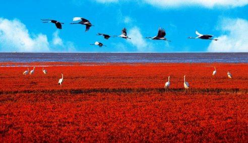 Pantai Merah Panjin Tarik Burung Jarang Ditemui