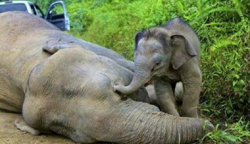 Konflik Gajah Susulan Kawasan Keliaran Mengecil