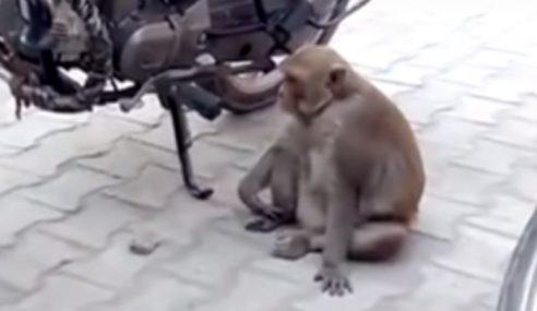 Monyet Haus, Curi Minum Petrol Sampai Mabuk