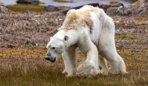 Beruang Kutub Dirakam Sebelum Mati Kebuluran