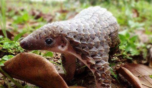 Teknologi Pulihara Spesies Hidupan Liar Terancam