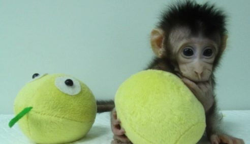Saintis China Berjaya Hasilkan Monyet Klon