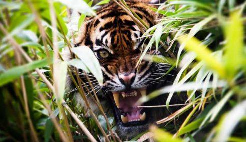 Panjat Pokok Sawit, Wanita Maut Dibaham Harimau