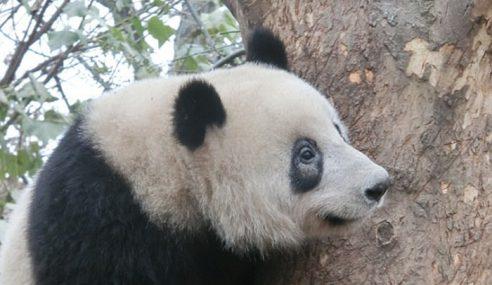Lingkaran Mata Hitam Panda Bertukar Putih