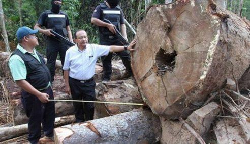 2,400 Batang Balak Bernilai RM3 Juta Disita Di Bera