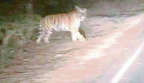 Gambar Tular Harimau Di Lepar Dirakam Di India