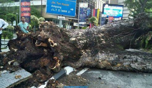 Pokok Tumbang Disebabkan Pereputan Akar