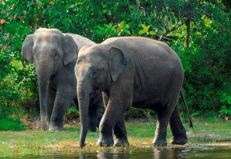 Gajah Asia Kini Diancam Dagangan Kulit Mynewshub