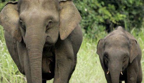 Siasat Dengan Rapi Kematian Gajah Pygmy Borneo
