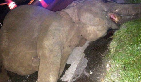 Seekor Gajah Liar Betina Mati Dilanggar Lori
