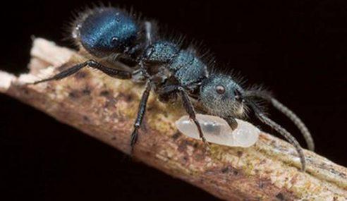 Spesies Semut Baru Ditemui 'Echinopla Tunku-Abduljalilii'