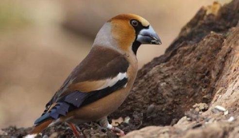 Sindiket Seludup Burung Pandai Menyanyi Di Malta