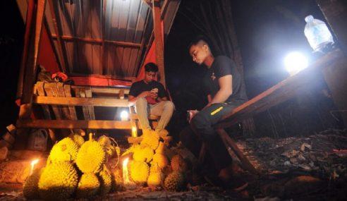Jadi 'Jaga' Kebun Durian Elak Kecurian