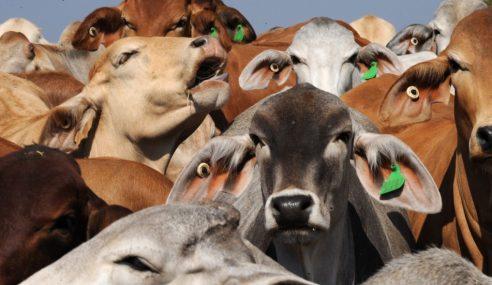 Australia Sekat Lembu 'Korban' Ke Malaysia