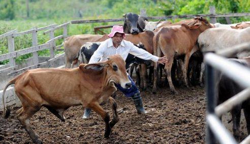 Lagi 40,000 Kambing, Lembu Import Untuk Aidiladha