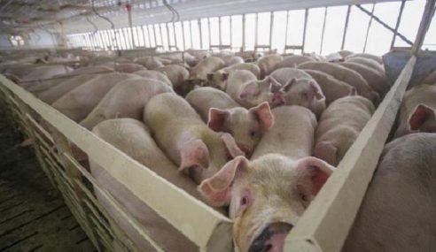 Perak Laksana Sistem Moden Ternak Babi