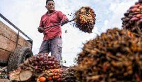 Pengharaman Minyak Sawit EU Jejas Pendapatan Pekebun Kecil