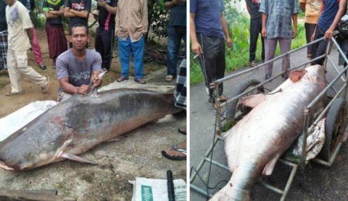 Ikan Patin Buah 150 Kg Gemparkan Penduduk