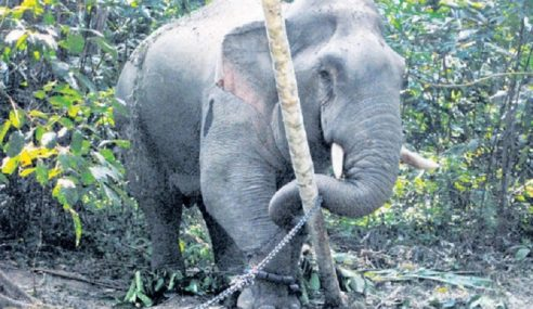 Perhilitan Tangkap Gajah Jantan Seberat 3.5 Tan