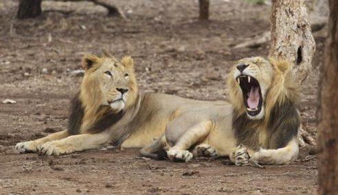 23 Singa Spesies Terancam Mati Akibat Virus