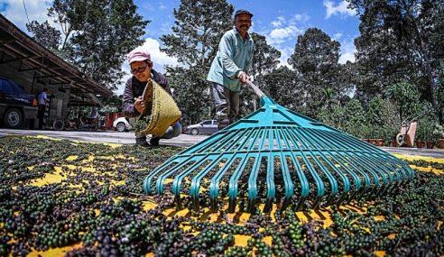Pekebun Sarawak Bergelut Harga Lada Hitam Rendah