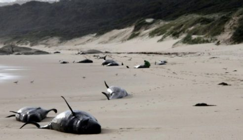 28 Paus Mati Terdampar Di Australia