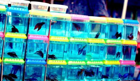 Kerajaan Negeri Melaka Bantu Penternak Ikan Laga