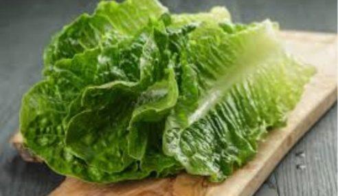 Isu Sayur Romaine Lettuce Dicemari Bakteria