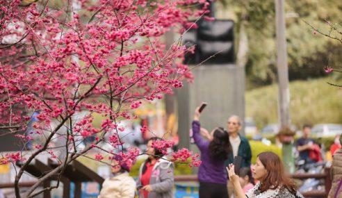 Bunga Sakura Taiwan, Tidak Hanya Di Jepun & Korea!