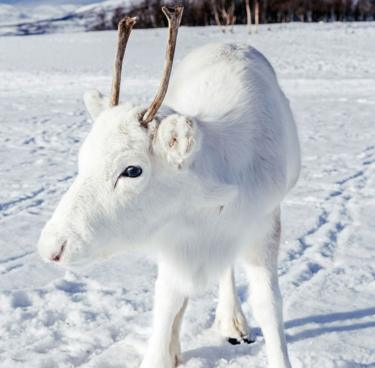 Jurufoto Norway Bertuah Terjumpa Rusa Putih