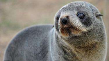 Pihak Berkuasa New Zealand Buru Pembunuh Anjing Laut