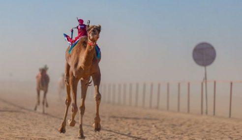 Lumba Unta Kembali Popular Di Selatan Arab Saudi