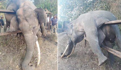 Gajah Mati Lemas Selepas Gagal Panjat Pagar