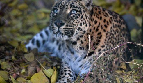 Budak 3 Tahun Putus Kepala Dilarikan Harimau Bintang