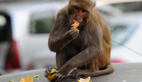 Monyet Buat Kerajaan India Pening Kepala