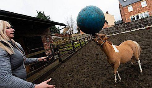 Anak Kuda Padi Lincah Main Bola Sepak Di Britain