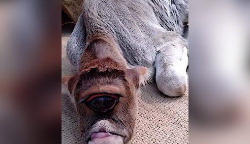 Anak Lembu Satu Mata Jadi Tarikan Di India
