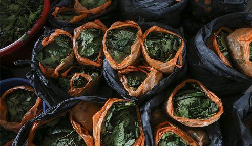 Kedah Mahu Hapuskan Ladang Ketum