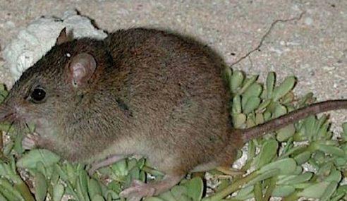 Tikus Australia Haiwan Pertama Pupus Akibat Manusia