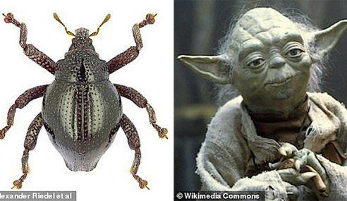 Spesies Kumbang Baru Dinamakan Sebagai Yoda
