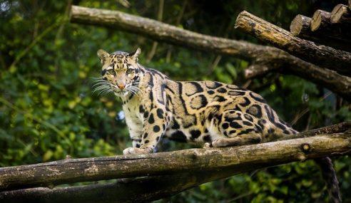 Harimau Bintang Pupus Muncul Selepas 30 Tahun