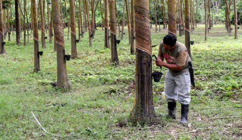 Kenapa Pekebun Kecil Getah Sarawak Tak Dapat RM600?