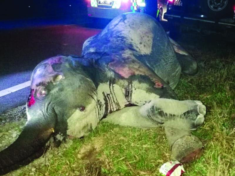 Anak Gajah Maut Dirempuh Lori Muatan Bijih Besi