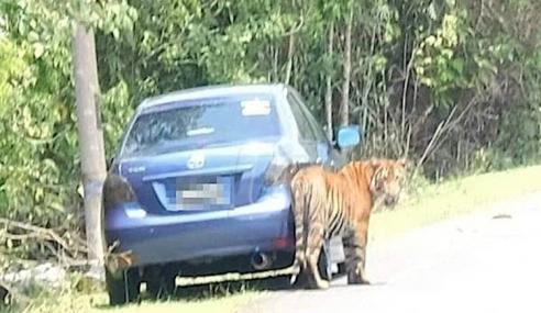 Siapa Yang Pelihara Harimau Ini?
