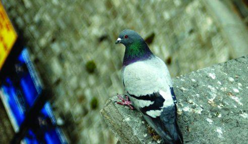 Najis Burung Merpati Tiada Kaitan Gangguan Kesihatan – KKM