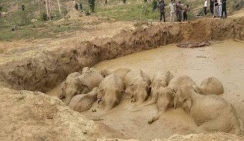 6 Jam Selamatkan Gajah Terperangkap Dalam Lombong Emas