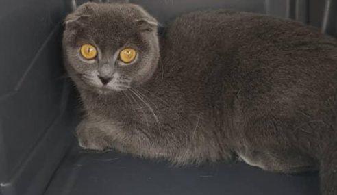 Maqis Tahan Seekor Kucing British Short Hair