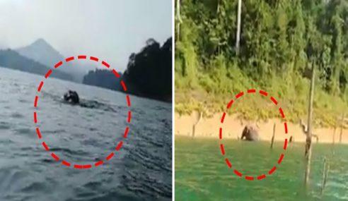 Aksi Gajah Berenang Di Tasik Kenyir Jadi Tumpuan