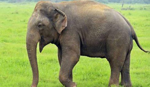 Lelaki Maut Dipijak Gajah Di Mersing